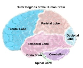 Outer Regions of Brain.jpg